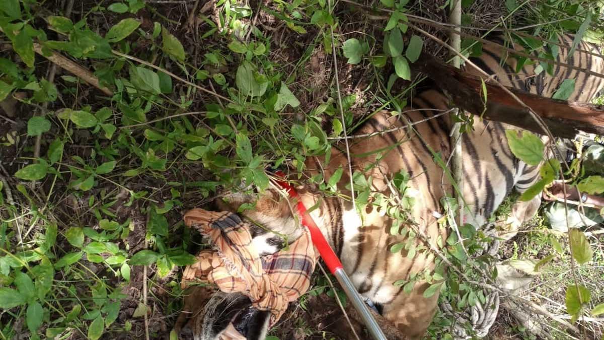 Masinagudi Tiger Attack: T23 Tiger Which killed 4 Humans Captured