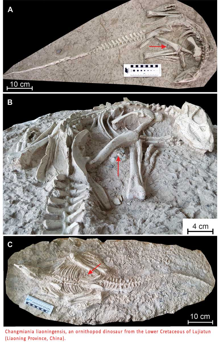 125 Million Year Old Dinosaur buried in China Liaoning province