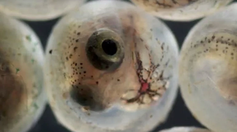 Killifish hatching Image.