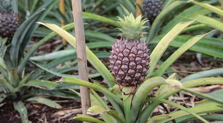 World Most Expensive Fruit Pineapple .Image Credit Plantopedia