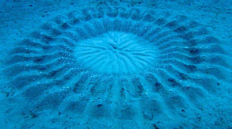 Japanese Pufferfish: Under Water great artist. Img NGC