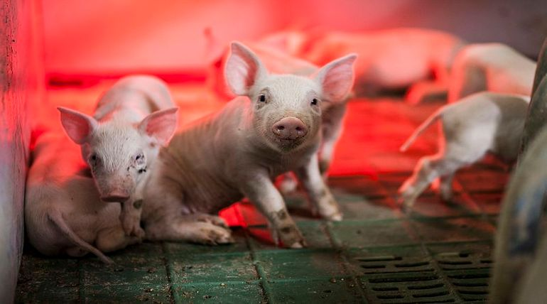 African Swine Virus Threats 20 billion Dollar American business