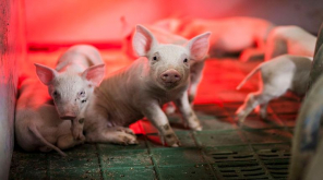 African Swine Virus Threats 20 billion Dollar American business