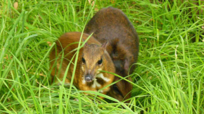 Chevrotain, an Extincted Mouse-Deer Species Returned from Extinction