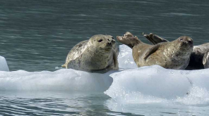 Climate change causes marine mammal to be infected by a deadly virus in the Pacific ocean
