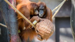 Orangutans are the Relatives of Extinct Large Ape