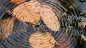 This is how Bees avoid drowning