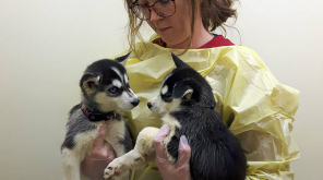 SPCA Received 17 Husky Puppies As Christmas Gift