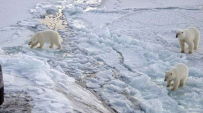 Around 56 Polar Bears Migrate to a Russian Village