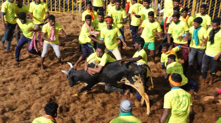 Jallikattu brings cheers among Tamil people to end Pongal festival with joy