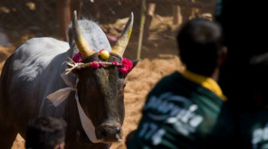 Bull Tamers Age of Participation Raised to 21 to Participate in Alanganallur Jallikattu