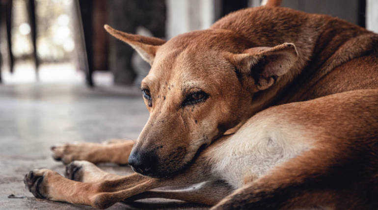 Stray Dogs are being poisoned in Chennai