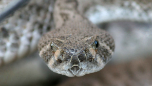 Rattlesnake Venom can be used as painkillers soon