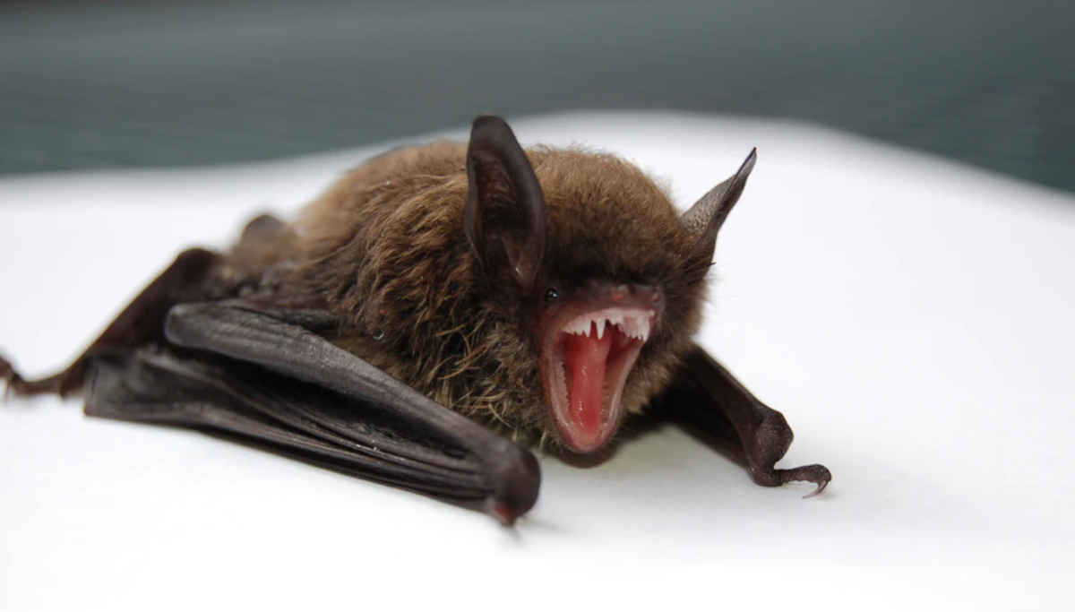 Bat and its Immunity