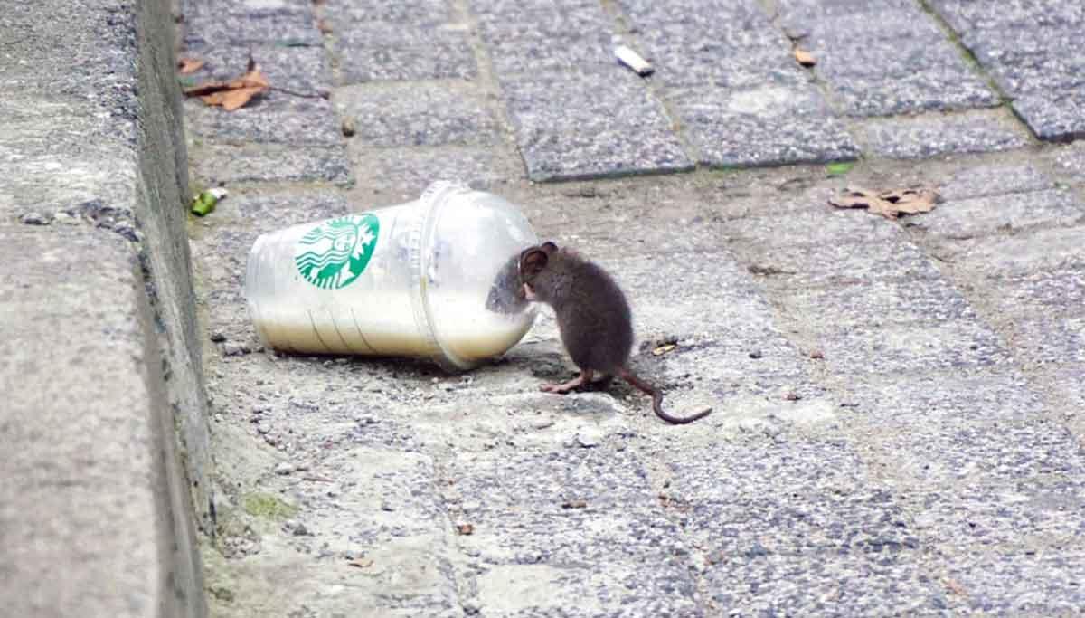 Rat Infection - Hantavirus