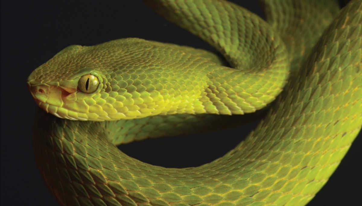 Snake Named After Salazr Slytherin