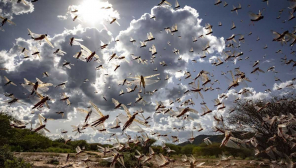 Desert Locust will not ruin Tamil Nadu farms