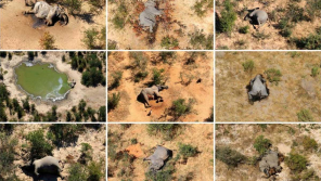Reason found for 350 elephant deaths in Botswana