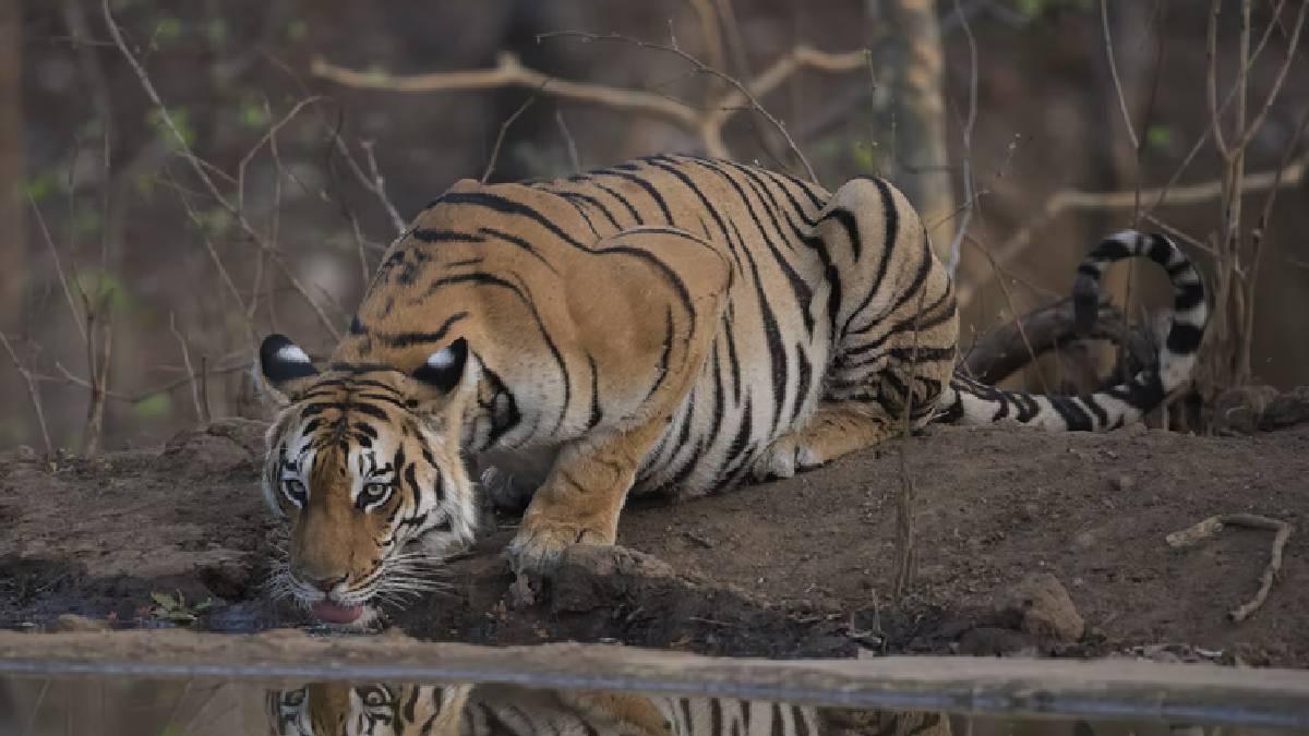 Representative Tiger Image