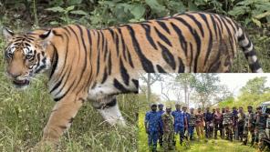 Tiger Attack Masinagudi